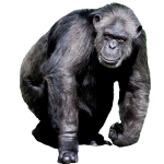 chimpanze decoupé